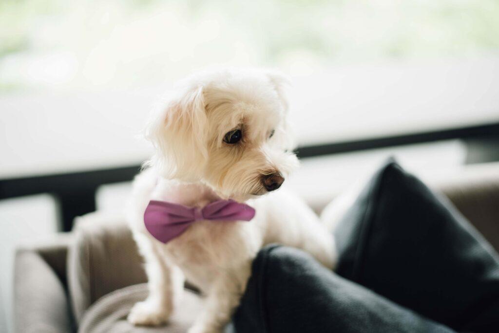 Pies na sofie czekający na wesele
